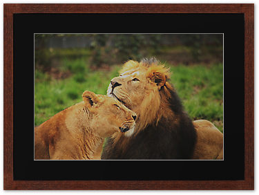 Lioness and lion, by Franco De Luco Calce.